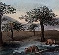 Schmidtmeyer- Scharf, George Johann - Riverbank with trees & nutria or coypu -JCB Library f1.1.jpg