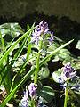 Scilla lilio-hyacinthus04.jpg