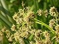 Scirpus microcarpus (4155051409).jpg