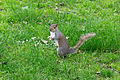 Sciurus carolinensis (eastern gray squirrel) in London, UK.jpg