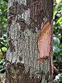 Scorodocarpus borneensis 20110125-11670 aip.jpg