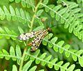 Scorpion Fly. Mecanoptera. Panorpa communis - Flickr - gailhampshire.jpg