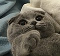 Scottish fold cat.jpg