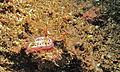 Sea Slug (Chromodoris kuniei) (8458829690).jpg
