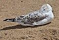 Seagull resting on Margate Beach-4 (6224255592).jpg