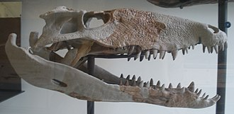 Crocodylomorpha - Sebecus icaeorhinus skull