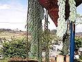 Sedum morganianum-xavier cottage-yercaud-salem-India.JPG