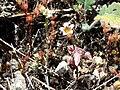 Sedum mucizonia Plant SierraMadrona.jpg
