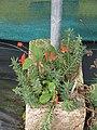 Seemannia nematanthodes (15037240853).jpg