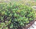 Senecio ficoides - Karoo Desert NBG - South Africa.jpg