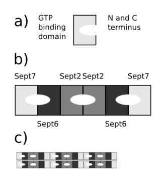 Septin - Image: Septin Assembly Schematic v 001