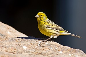Atlantic canary - Male in Gran Canaria, Spain