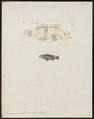 Serranus pantherinus - - Print - Iconographia Zoologica - Special Collections University of Amsterdam - UBA01 IZ12900237.tif
