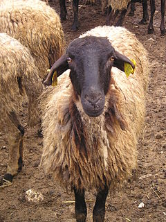 Serrai sheep Breed of sheep