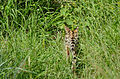 Serval (Leptailurus serval) disappearing in the grass (16579485501).jpg