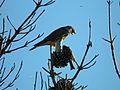 Sharp-shinned Hawk Eating a Black Phoebe - Flickr - GregTheBusker (2).jpg