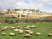 Shilo (7) sheeps.jpg