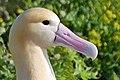 Short tailed Albatross1 (cropped).jpg