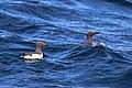 Sillgrissla - Common guillemot -4513 - Flickr - Ragnhild & Neil Crawford.jpg