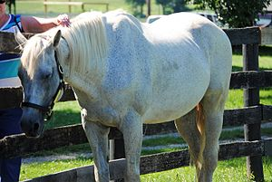 Silver Charm - Silver Charm at Old Friends.