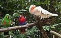 Singapore Zoo Aussie Birds-1 (6591154375).jpg