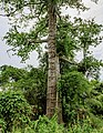 Sipitang-District Bee-tree-02.jpg