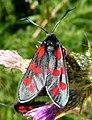 Six-spot Burnet moth. Zygaena filipendulae stephensi - Flickr - gailhampshire.jpg