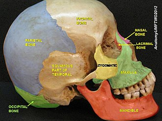 Occipital bone - Image: Slide 4llll