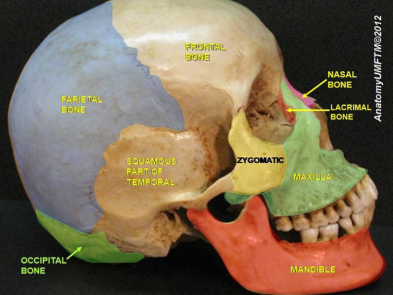 occipital bone - howlingpixel, Human Body