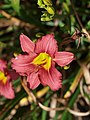 Small Flowered Red Daylily - 9330645824.jpg