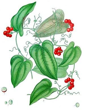 Smilax - American sarsaparilla (S. aristolochiifolia) from Köhler's Medicinal Plants