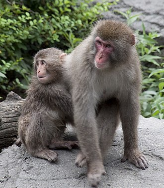 Japanese macaque - Mother macaque with infant