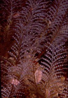 <i>Gattya humilis</i> species of cnidarian