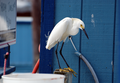 Snowy Egret (676862925).png