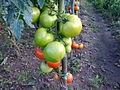 Solanales - Solanum lycopersicum - 3.jpg