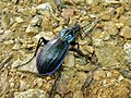 Solier's Ground Beetle (Chrysocarabus solieri bonettianus) (8337451547).jpg