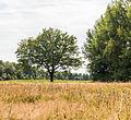 Solitaire eik (Quercus). Locatie, Stuttebosch in de lendevallei. Provincie Friesland 02.jpg