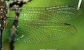 Somatochlora flavomaculata wing.jpg