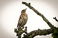 Song Thrush Hampshire.jpg