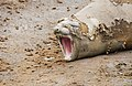 SouthShetland-2016-Livingston Island (Hannah Point)–Southern elephant seal (Mirounga leonina) 02.jpg