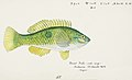 Southern Pacific fishes illustrations by F.E. Clarke 80.jpg
