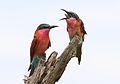 Southern carmine bee-eater, Merops nubicoides, Savuti marsh, Chobe National Park, Botswana (31650333313).jpg