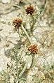 Spain. Sedge. Barbette marsh and sand. (23903752888).jpg