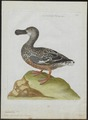 Spatula clypeata - 1790-1796 - Print - Iconographia Zoologica - Special Collections University of Amsterdam - UBA01 IZ17600475.tif