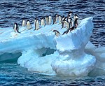 Spectacular Christmas morning cruise through the remants of giant Tabular iceberg B15Y, which is now grounded just off Bransfield Island at the N tip of the Antarctic Peninsula.Adelie Penguins (25879023262).jpg