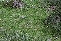 Sphagnum riparium (b, 145622-482723) 0131.JPG