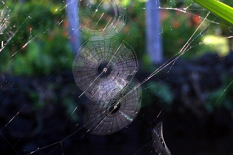 Spider webs in kona