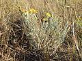 Spike oat dominated grassland (Machaeranthera pinnatifida) (20900331679).jpg