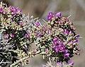 Spiny Ruschia (Ruschia spinosa) (32740893156).jpg
