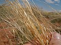 Sporobolus cryptandrus Oryzopsis-Hilaria-Sporobolus steppe (6124777614).jpg